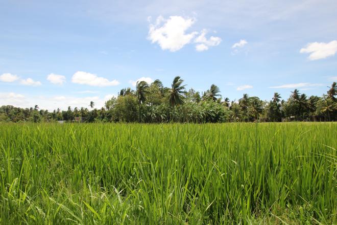Los arrozales de Polonnaruwa