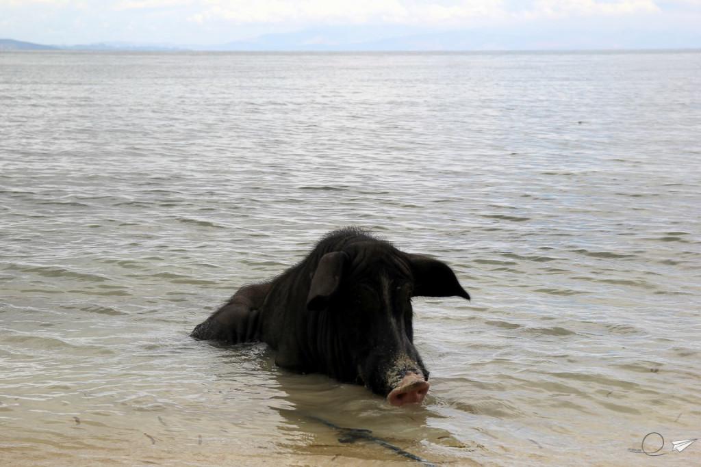 Cerdo bañándose Siargao