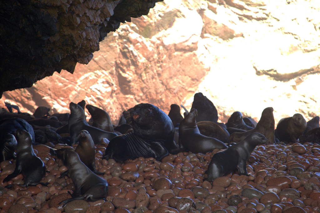 leones-marinos-ballestas.CR2