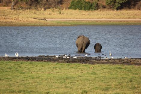 Los preciosos elefantes de Minneriya