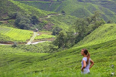 Campos de té de Malasia