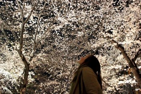 Cerezos en flor hanami