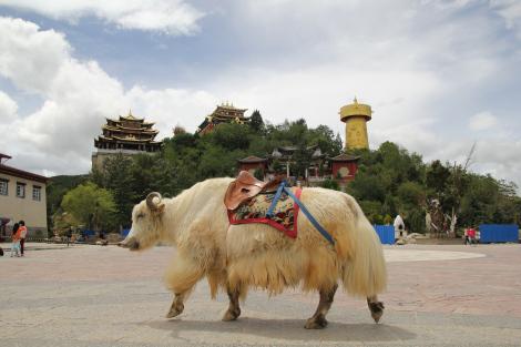 ¡Un yak, por fin!