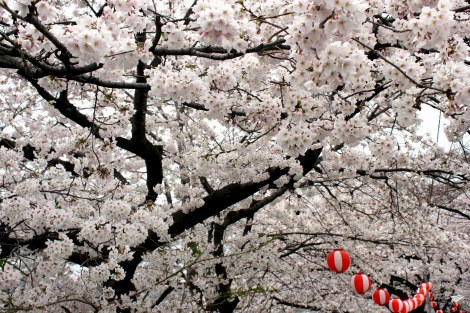 Cerezos en flor en Japón