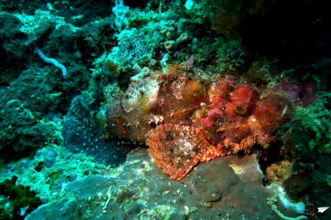 Scorpion fish Balicasag