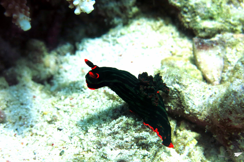 nudibranquio-buceo-filipinas