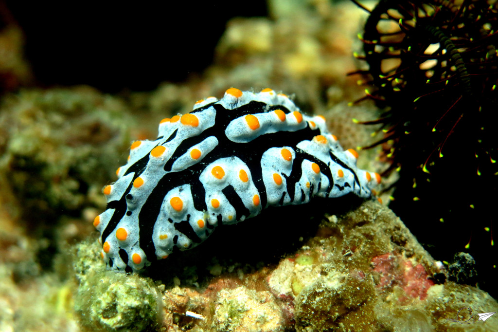nudibranquio-filipinas