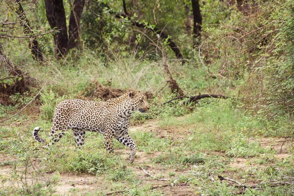 leopardo en el Kruger