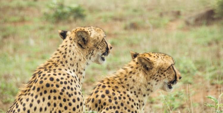 cheetahs en el Kruger