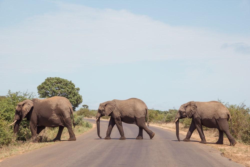 elefantes por las carreteras del Kruger