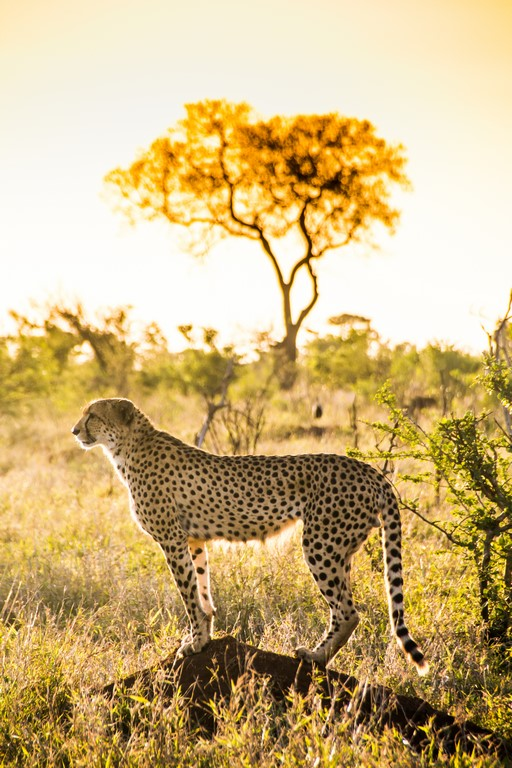 guepardo posando en el Kruger