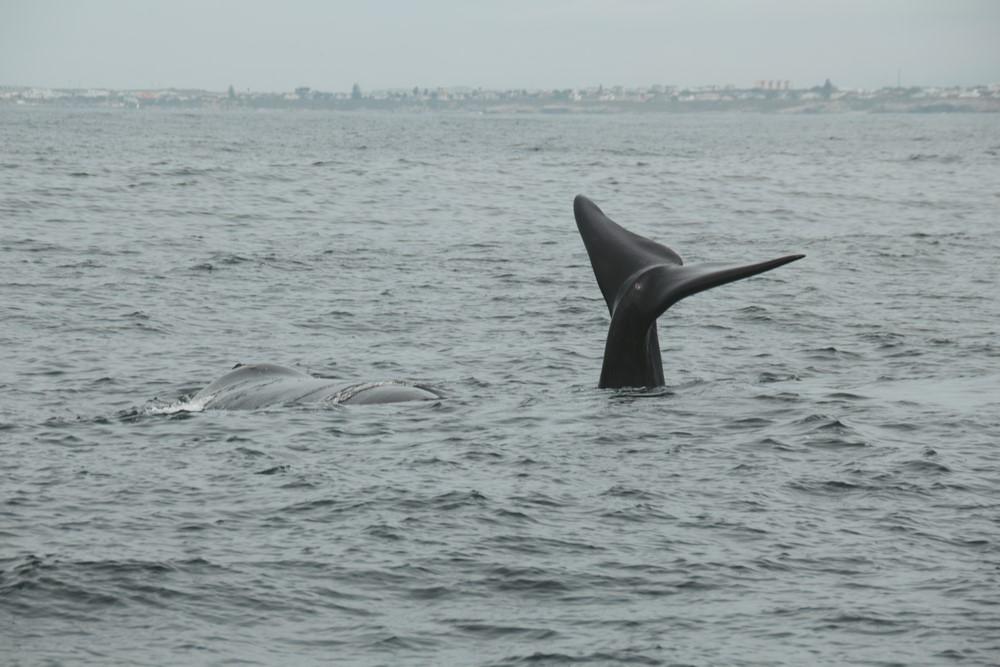 ballenas en Hermanus Sudáfrica